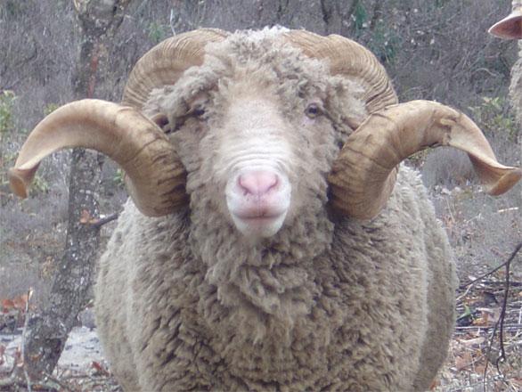 a male sheep